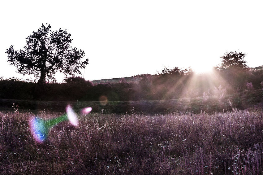 Beauty In Nature Clear Sky Day Field Flare Flare Of Light Flares In Nature Flower Freshness Growth Landscape Nature No People Outdoors Plant Purple Scenics Sky Tranquil Scene Tranquility Tree