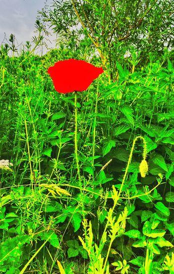 poppy poppy Red
