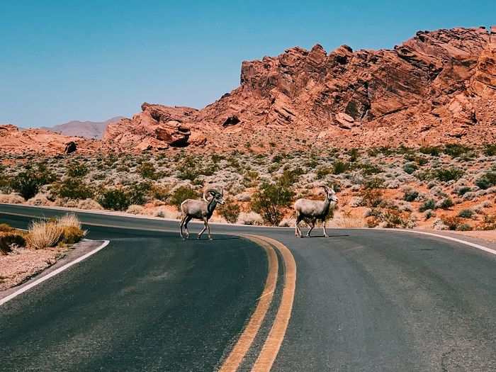 Mouflons on the desert road against clear sky