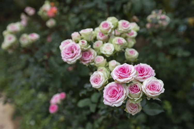 Close up of a roses in garden