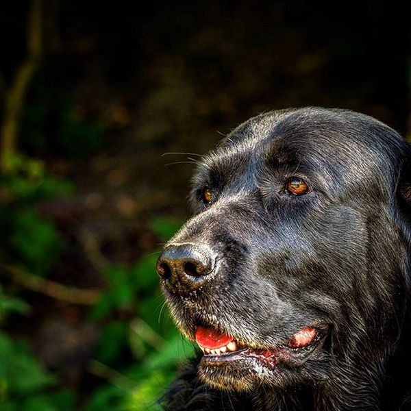 Abbey Hund Labbi Labrador Portrait Tier Kopf Testbild Schwarzerlabrador