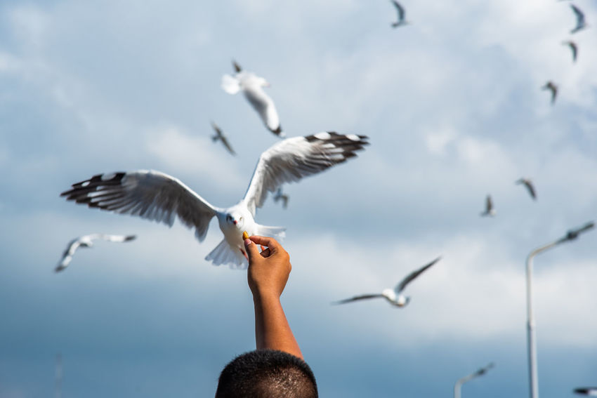 seagulls in action is flying on the sky with cloud,It is hovering food in hands Flying Spread Wings Bird Animals In The Wild Vertebrate Animal Wildlife Sky Cloud - Sky One Person Nature Group Of Animals Human Body Part Seagull Hand Feeding  Human Hand Day Outdoors Flock Of Birds Finger Flapping