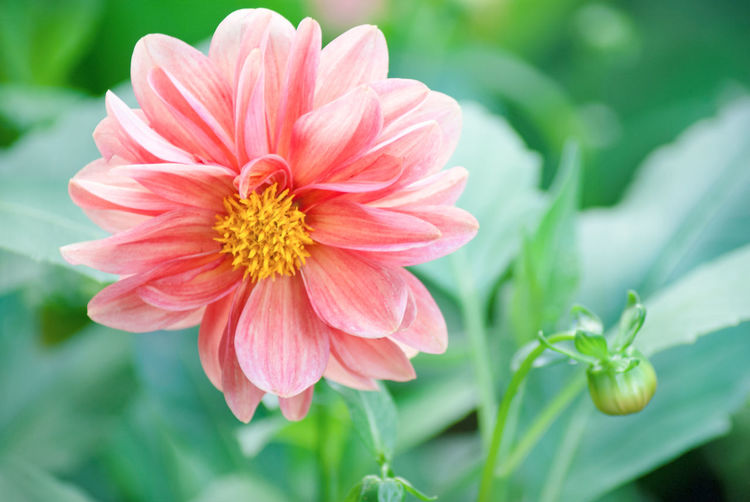 Dahlia Flowers Dahlia Pinnata EyeEm Nature Lover Beauty In Nature Close-up Day Flower Flower Head Flowering Plant Focus On Foreground Fragility Freshness Growth Inflorescence Nature No People Outdoors Petal Petals🌸 Pink Color Pink Flower Plant Selective Focus Summer Vulnerability