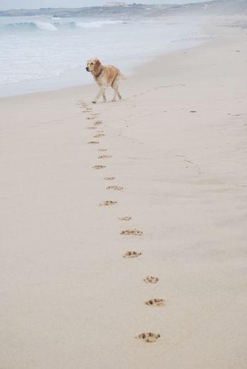 Paw prints leading towards labrador retriever walking on beach
