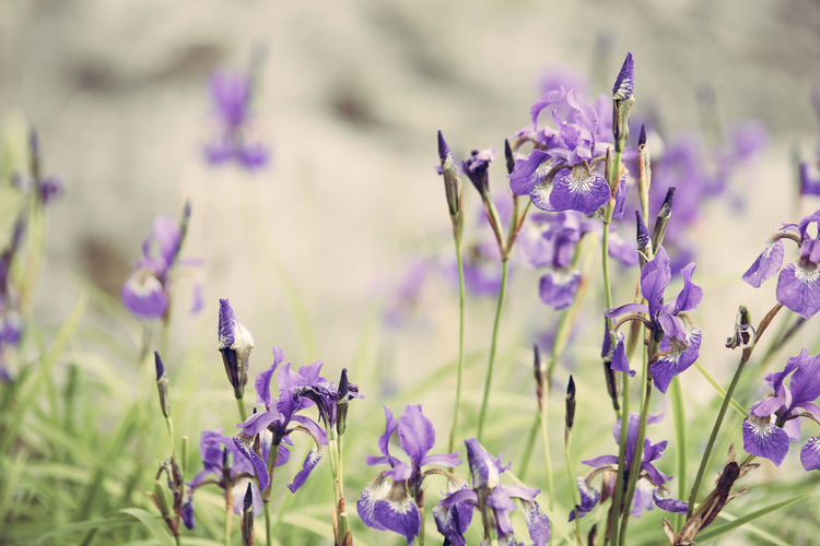 Purple Iris flowers on field Backgrounds Beauty In Nature Blooming Close-up Colorful Field Flower Flower Head Fragility Freshness Growth Iridaceae Iris Nature Plant Purple Summer
