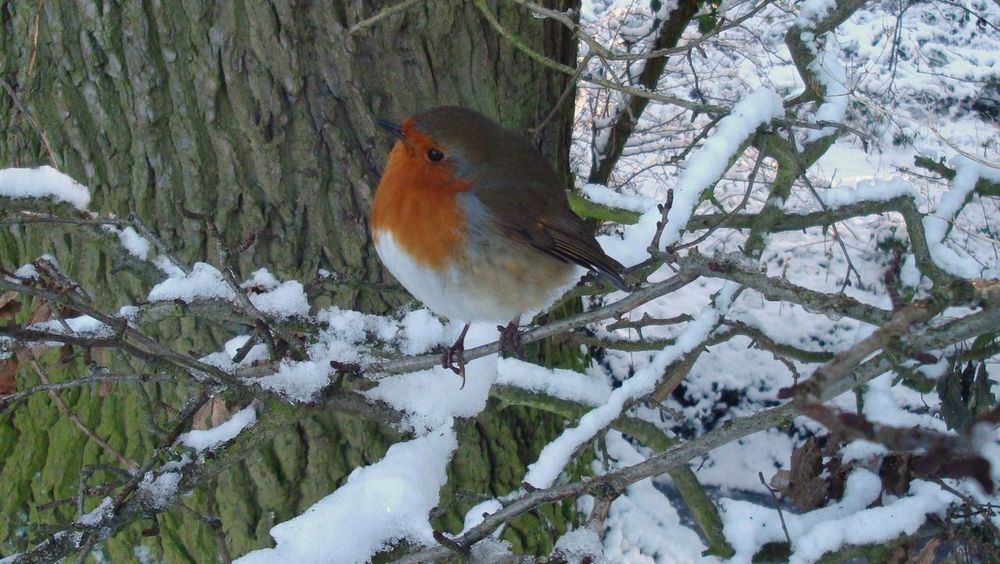 Winter Scenes Snowscape Arrow Valley Country Park Robin Redbreast Birds_collection Close-up Wildlife Photography Nature Birds Wildlife