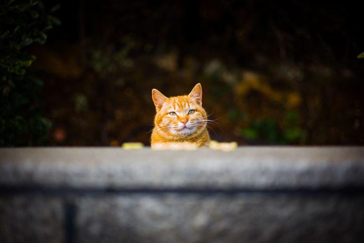 Close-up of orange tabby cat