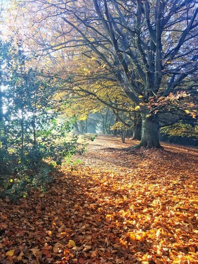 Golden leaves Beautiful Nature Golden Leaves Autmun Colors Autumn Leaf Change Tree Nature Beauty In Nature Tranquility Outdoors Sunlight Forest