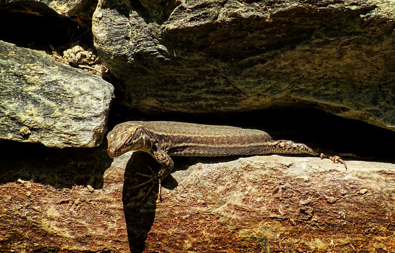 A cute camouflaged lizard sunbathing on a rock wall. Path between Andorra la Vella - La massana, September 2017 Dragon I Spy With My Little Eye Lagarto Lizard Observe Andorralavella Animal Animals In The Wild Brown Close-up Coucou  Drac Espia Greetings Lamassana Llengardaix Nature No People Rocks Scales Serious Sol Summer Sunbathing Tiny Fellow