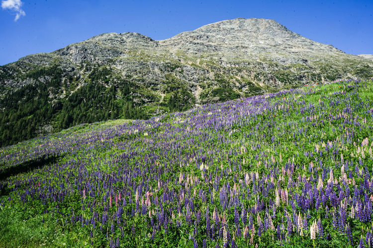 Purple Flowering Plants On Field By Mountain Against Sky