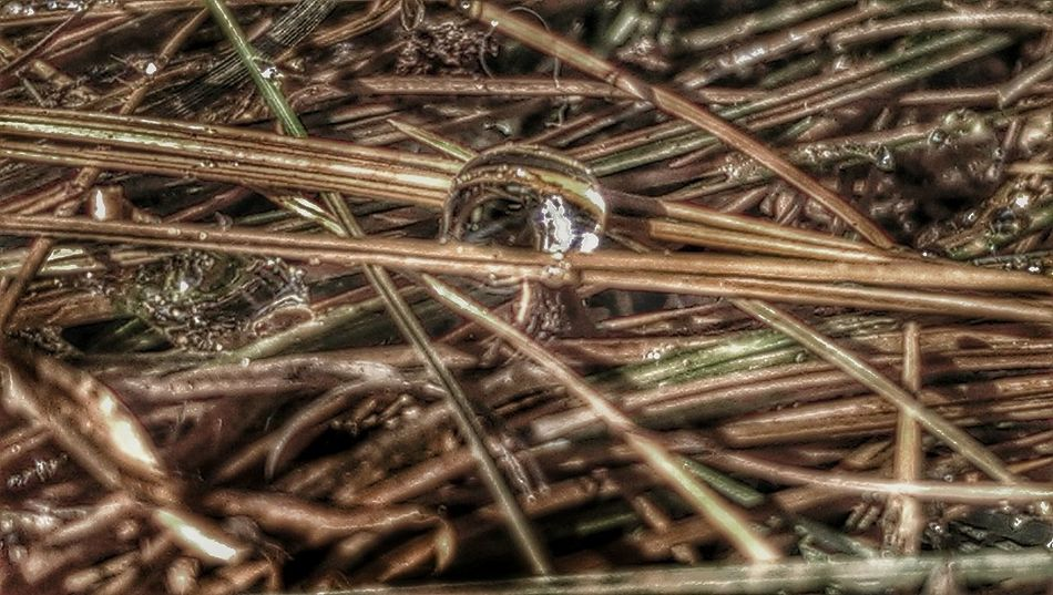 Macro Photography HDR Nature Pine Needles with Pine Resin