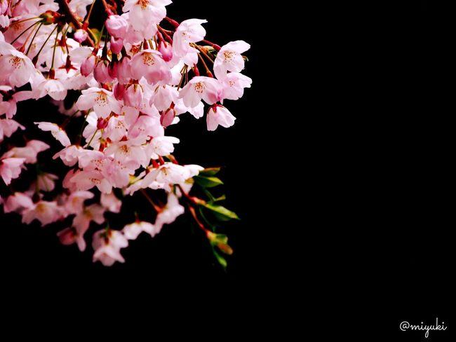 お久しぶりです!仙台から故郷の札幌に戻り、写真も再開しようと思います。またよろしくお願いします!写真の桜は函館の桜。桜前線もやっと道南まで来ました!Long time no see, all. i'd moved to Sapporo from Sendai-City. Cherry Blossoms Flowers Pink Spring