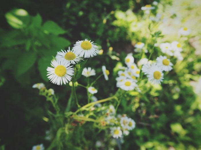 High angle view of white chamomile flowers blooming outdoors