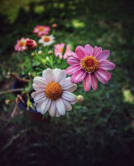 Flower Petal Fragility Nature Flower Head Beauty In Nature Pollen Growth Freshness Blooming Plant Close-up Cosmos Flower Osteospermum Pink Color White Color Pink And White Daisy Daisy Flower Daisies Pink And White Daisies Pink Daisy White Daisy Wide Angle Flowers