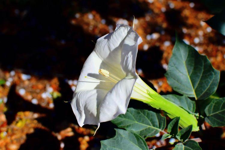 Flowers White Flower Petals Flower Blooming High Desert Flower