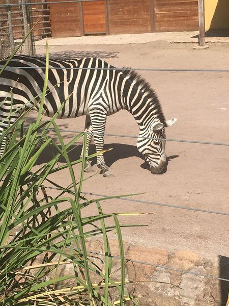 Bioparco Rome Zebra