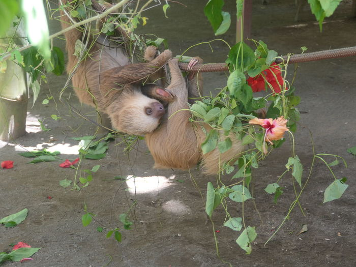 Slothlife No People Noedit Nofilter Photography Pets Brown History Love Lumix Focus On Foreground Pet Portraits Costa Rica Sloth Relaxing Flower Flower Greenhouse Plant Close-up Blooming In Bloom Fragility Single Flower Hibiscus Petal Cosmos Flower My Best Travel Photo