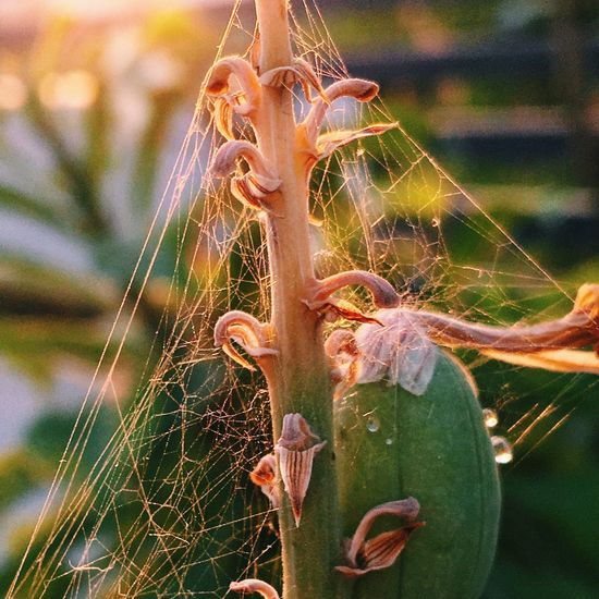 IPhone IPhoneography Iphoneonly Shotoniphone6splus Naturelovers Macro_collection Closeup Spiderweb Golden Hour Rays Of Light