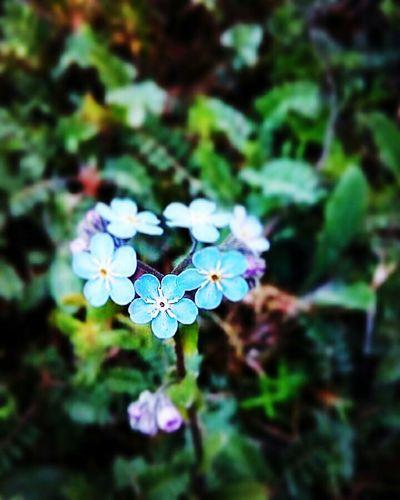 Görmek bir bilinç işi...Gören bir göze sahip olmak en büyük duam... To See Flowers Nature Flower Collection Look And See  Nature_collection Blue ın Green To See... Is A Beautiful Thing Flower Blue Blue And Green Canlı Kalp Small Flowers Nerede Nereden Bolu  Gerede Gerede Ovacık Yaylası