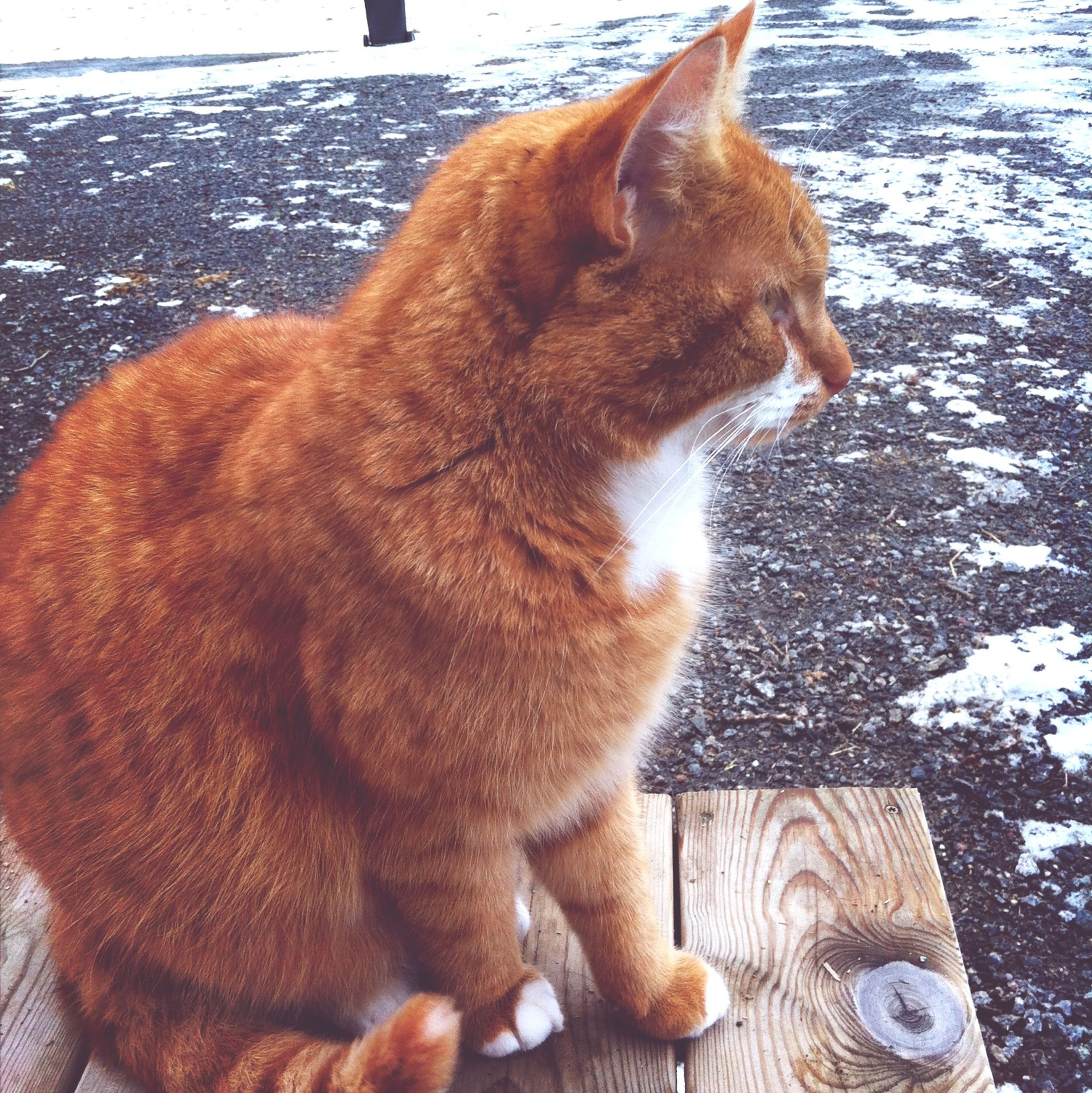 domestic cat, animal themes, mammal, domestic animals, cat, one animal, pets, feline, whisker, brown, relaxation, sitting, looking away, no people, carnivora, close-up, day, outdoors, side view, orange color