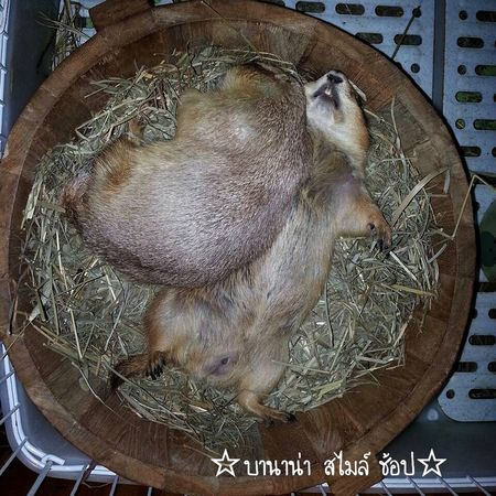 Prairie Dogs Prairie Grass Sleep Thailand