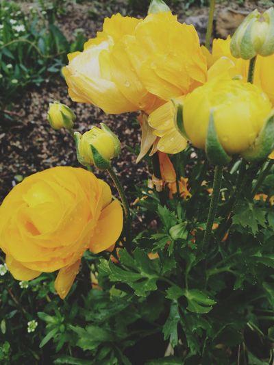 Yellow Growth