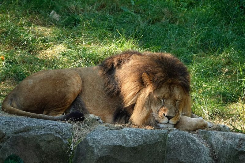 Sleeping lion Animal_collection Animal Photography Lion Carnivore Predator Male Lion Dangerous Animals Hunter Wildlife Mane Laying Down Animal Themes Animal Wildlife Animals In The Wild Animal Mammal Vertebrate Lion - Feline Feline Relaxation Nature Cat One Animal Sunlight Resting No People Day