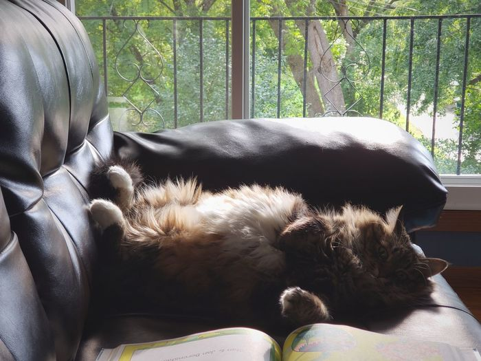 Lazy Sunday with the lovely kiyomi. Cats Cats Of EyeEm Princesskitty Comfycat Upside Down Couch Potato Tummy Furry Friends Pets Close-up