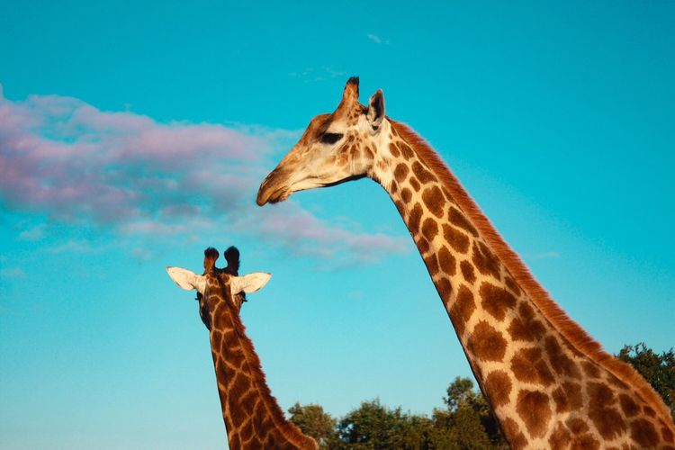 The Great Outdoors - 2017 EyeEm Awards Giraffe Animals In The Wild Animal Themes Animal Wildlife One Animal Low Angle View Day Mammal Outdoors Safari Animals No People Nature Sky Animal Markings Beauty In Nature Tree Africa Plettenberg Bay South Africa Safari Travel Canon