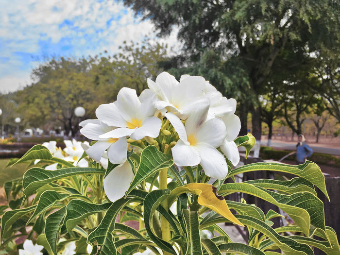 Plumeria Flower Beauty In Nature Blooming Close-up Day Flower Flower Head Fragility Freshness Growth Nature No People Outdoors Petal Plant Tree White Color