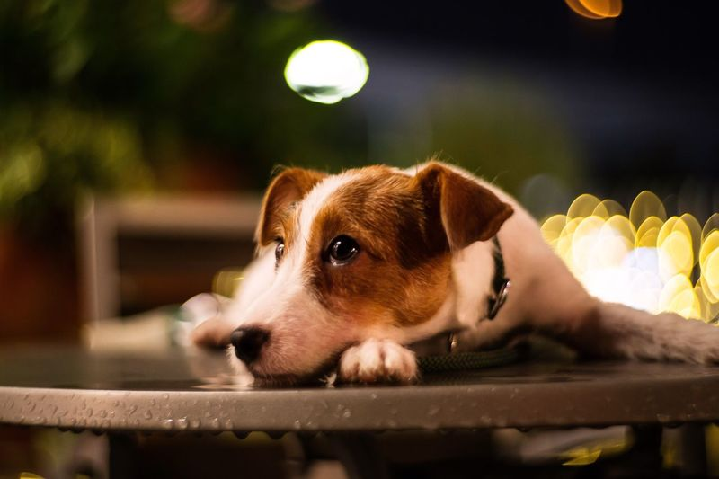 Close-up of jack russell terrier on wet table at night