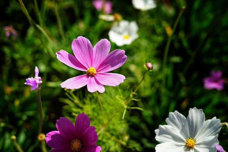 No People No Person Day Flower Head Flower Botanical Garden Pink Color Multi Colored Summer Petal Purple Close-up Plant Flowering Plant Plant Life Blossom