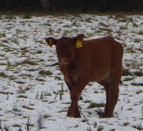 Calf😍 Snow Looking At Camera Domestic Animals Cold Temperature Enjoying Life Enjoy The View Winter Is Comming! Naturelovers Beauty In Nature Newlife💛 Beauty In My Every Day Life For My Eyeem Friends Calf Field Animal Themes