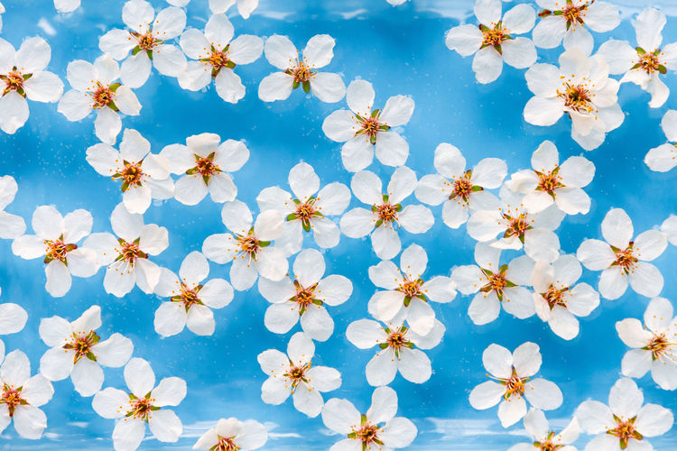 Flat lay of floating wild cherry white flowers with drops on the surface of water,  blue background