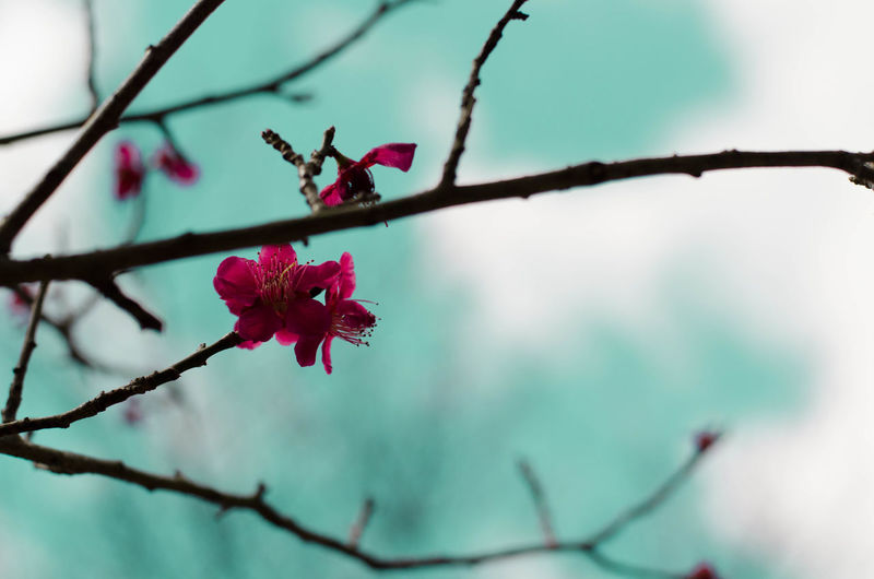 plum tree Beauty In Nature Blooming Blossom Blue Branch Close-up Clouds Day Flower Flower Head Fragility Growing Growth In Bloom Japan Nature No People Petal Pink Color Plum Plum Blossom Plum Tree Scenics Springtime