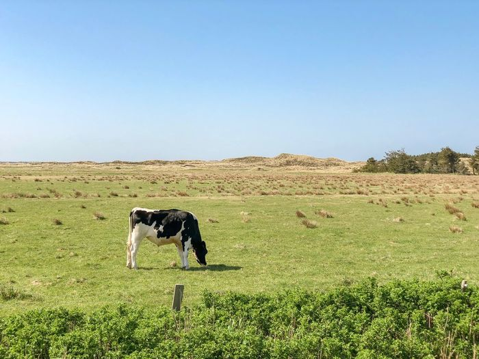 One Cow eating grass Cattle Cows In A Field Cow Domestic Pets Domestic Animals Mammal Sky Animal Animal Themes Vertebrate Land Field Clear Sky One Animal Plant Nature Landscape Day Copy Space No People