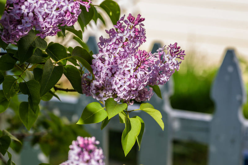 Sunlight on fresh purple lilac blooms in springtime No People Selective Focus Macro Flowering Bushes Flowers,Plants & Garden Spring Flowers Spring Purple Flowers Close-up Sunny Day Landscaping White Picket Fence