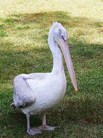 pelecanus crispus Johnny Wild Bird Tourist Destination Tower Bird White Color Grass Beak Animal Crest Animal Neck Pelican Water Bird Growing