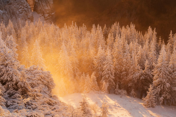 Scenic view of pine trees during winter