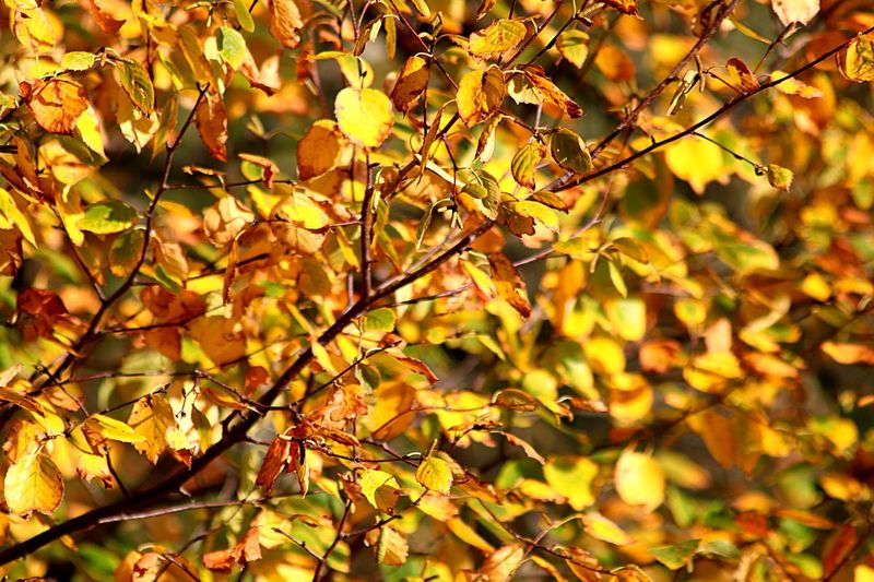 Plant Part Leaf Plant Autumn Tree Nature Growth Close-up Backgrounds Focus On Foreground No People Beauty In Nature Branch Change Yellow Day Sunlight Outdoors Full Frame Tranquility