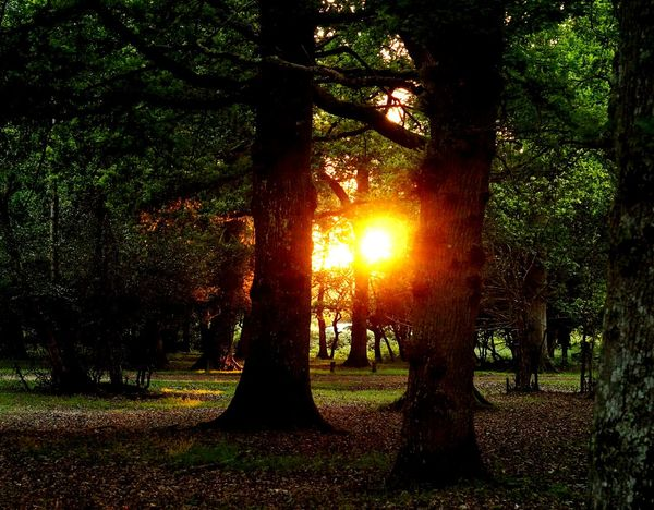 Tree Sunbeam Sunlight Beauty In Nature Tranquility Tree Trunk Forest Sunset Nature Tranquil Scene