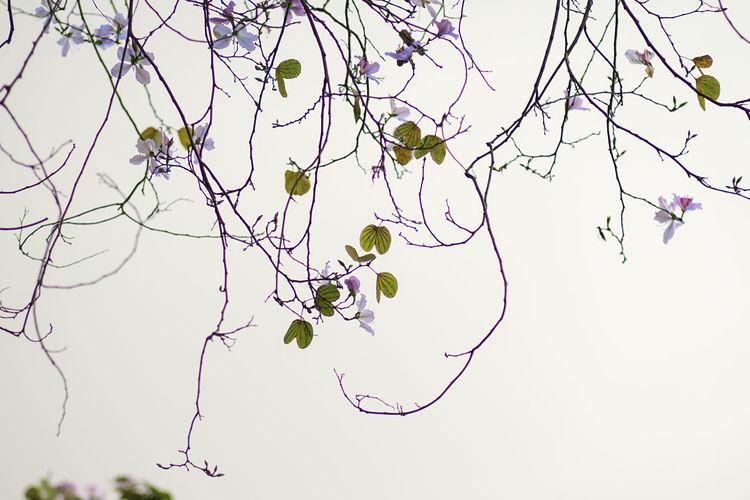 Bauhinia variegata flower Vietnam Backgrounds Flower Collection Heritage Site Spring Storm Cloud Vietnamphotography Violet Color