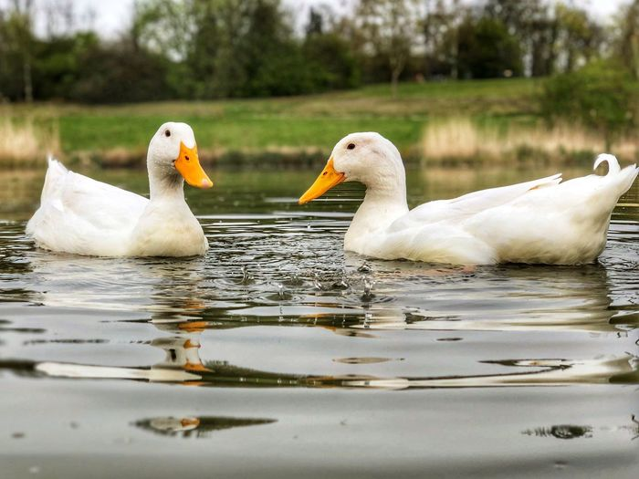 Two large white ducks swimming on a lake Wildlife & Nature Heavy Duck White Ducks Peking Duck Pekin Duck Pekin Ducks White Duck Bird Animal Themes Water Animals In The Wild Group Of Animals Animal Animal Wildlife Vertebrate Lake Swimming White Color Swan Young Animal No People Water Bird Waterfront Day Duck Nature Beak