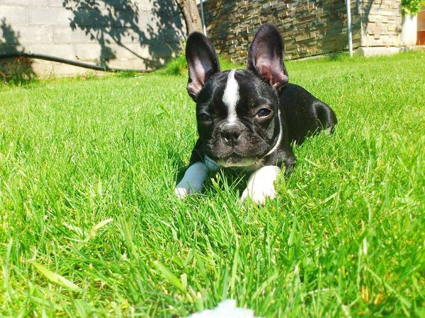 Grass Pets Dog One Animal Animal Themes Domestic Animals Green Color Mammal Day High Angle View Outdoors No People Growth Nature Animal Doméstico Dogs Of EyeEm Looking At Camera Pet Portraits Dog❤ Dog Love Bulldog Français Dogs Mascotas 🐶 Bulldog Nature