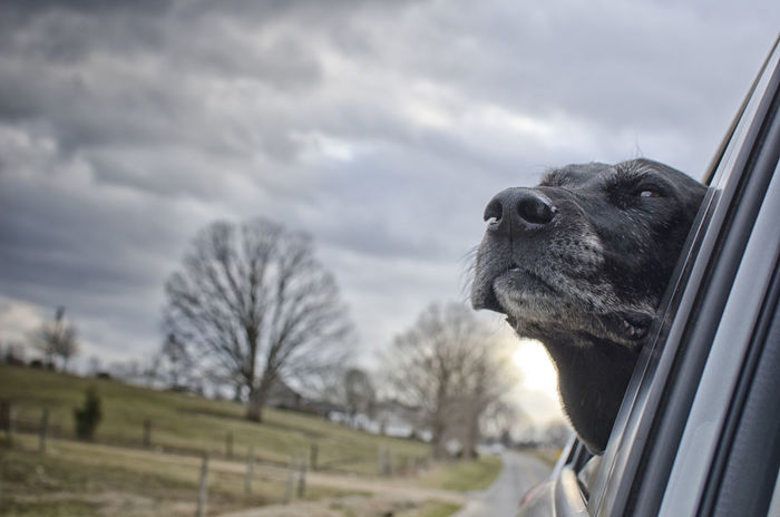 My buddy and I out for a drive. He's getting distinguished in his old age. Animal Themes Best Friend Black Lab Black Labrador Retriever Close-up Cloud - Sky Day Dog Dogs In Cars Domestic Animals Head Out The Window Mammal My Boy Nature Nikon D7000 No People One Animal Outdoors Overcast Pets Sky Pet Portraits