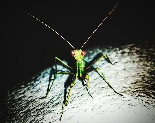 MantisReligiosa Mantisart Modelmantis AnimalTheme