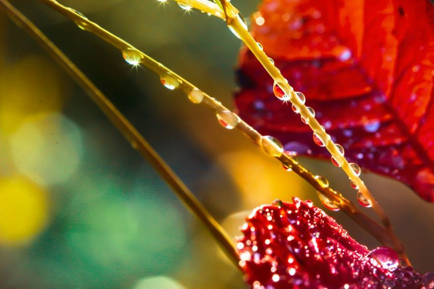 Autumn 🍁 Leaves Waterdrops Water Landscape Macro Photography Höst Sweden Nature Photography Autumn Canon 100mm Macro Beauty Flowers, Nature And Beauty Flowers,Plants & Garden Love Contrast Focus On Foreground Decoration Close-up Celebration No People Illuminated Christmas