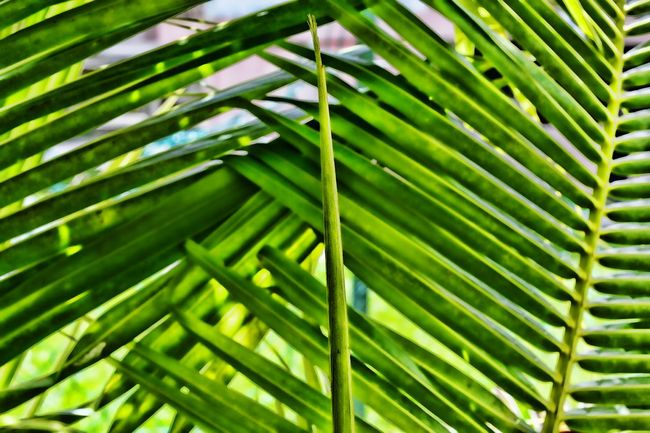 Abstract vertical palm leaf finger with palm frond background. Leaf Green Color Nature Palm Leaf Palm Tree Growth Close-up Tropical Climate Frond Tree Day Full Frame Plant Beauty In Nature Outdoors Freshness No People Fern Backgrounds Plant Part Abstract Beautiful Textured  Penang, Malaysia Textured