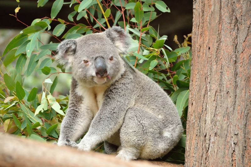 Koala on tree branch in forest
