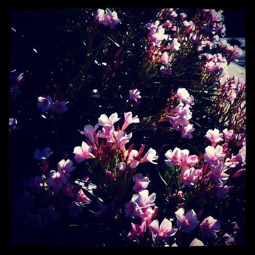 Flores Iphonessuck